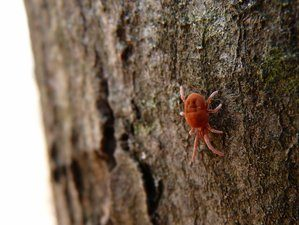 Adult Chigger Mite