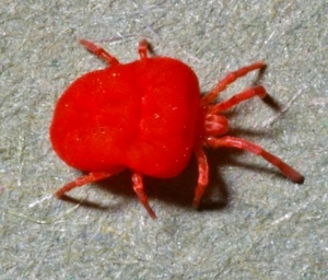 Why do chiggers bite?