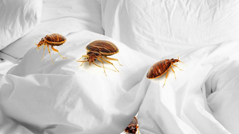 Does Vinegar Kill Bed Bugs