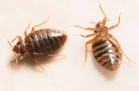 Is A Bed Bug Infestation Dangerous?